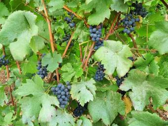 Vignoble-vin_de_domme_dordogne