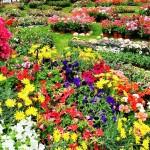 Saint-Jean-de-Côle_floralies_perigrd_dordogne